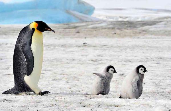 Un argentino salva a los pingüinos en peligro de extinción